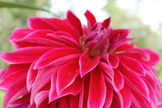 windmill hill city farm bristol dahlia