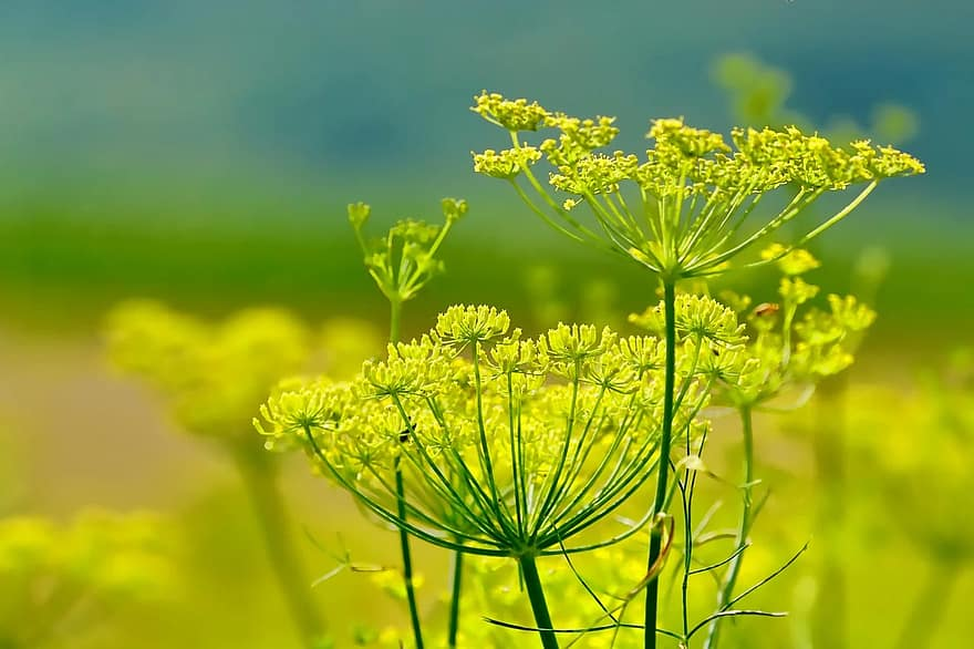 herb fennel plant