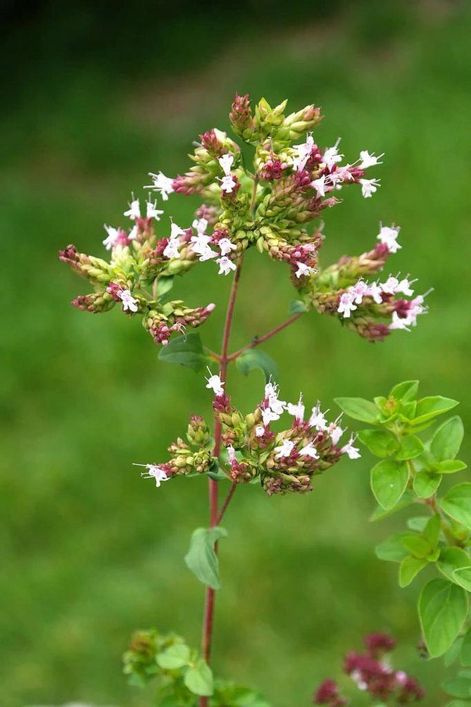 grow marjoram in a herb garden