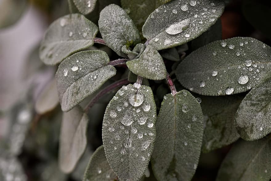 sage in the herb garden with rain drops on close up lens