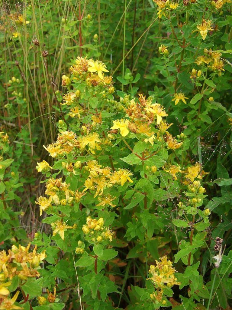 st john's wort medicinal herb